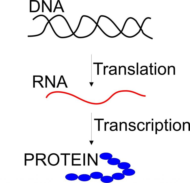 dna makes rna makes protein essay Is dna directly involved in translation no, dna remains in the nucleus and this process doesn't occur in the nucleus which types of rna are involved in translation.