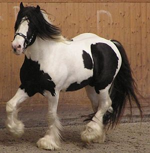 piebald_horse